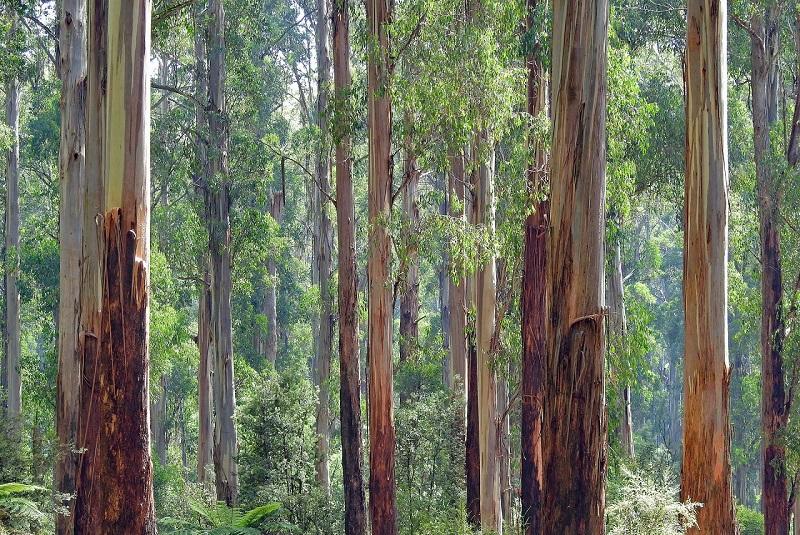 The Eucalyptus Tree In Australia