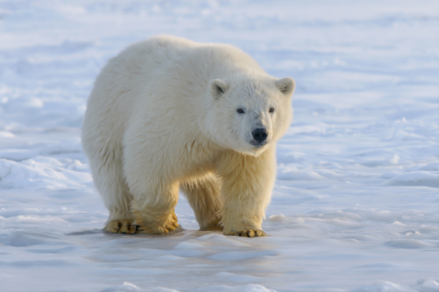 Đề thi IELTS Reading Why We Need To Protect Polar Bears Download đề bài đọc & đáp án