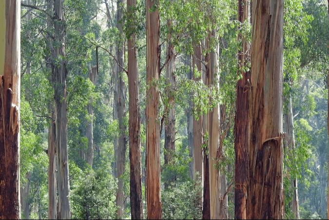 Đề thi IELTS Listening Practice The Eucalyptus Tree In Australia - Download PDF Câu hỏi, Transcript và Đáp án